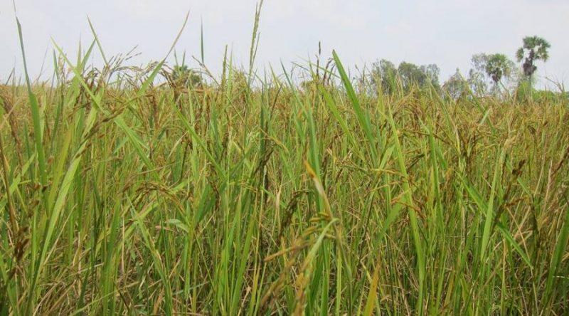 COVID 19-Cambodian-farmers-experience